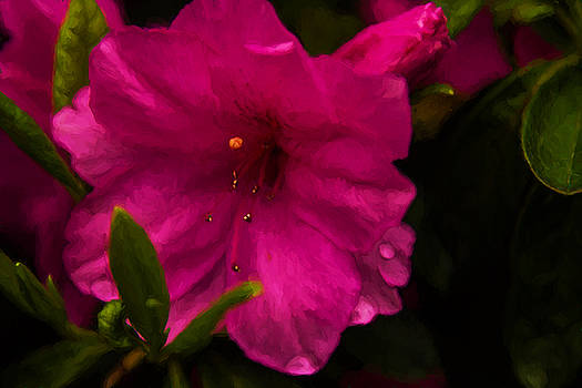 Barry Jones - Spring Flowering Beauty - Azalea Floral