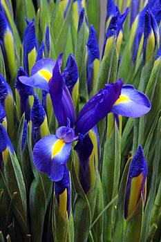 Carolyn Stagger Cokley - spring iris