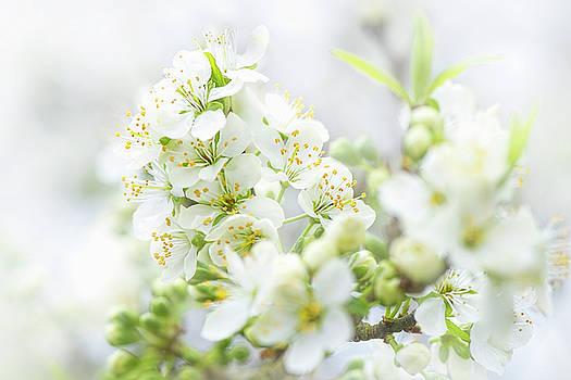 Spring Plum Blossom by Jacky Parker