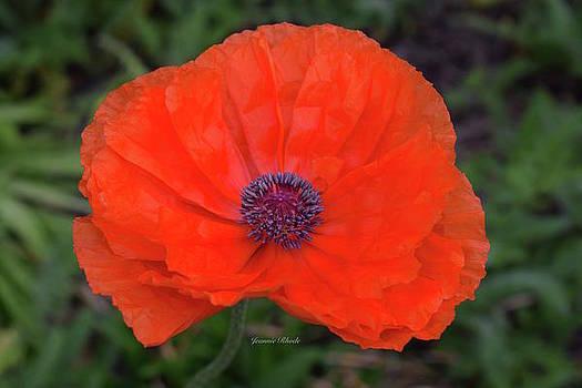 Spring Poppy in Orange by Jeannie Rhode Photography