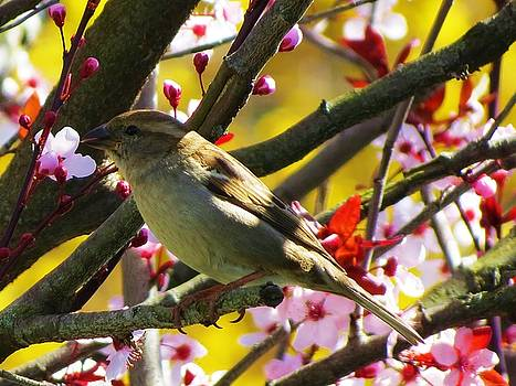Spring Sparrow by Vijay Sharon Govender