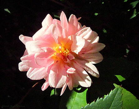 Joyce Dickens - Spring Tea Rose