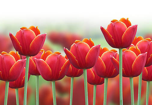 Spring Tulip Flower Background by Angela Waye