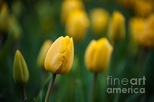 Spring Tulips Yellow by Wayne Moran