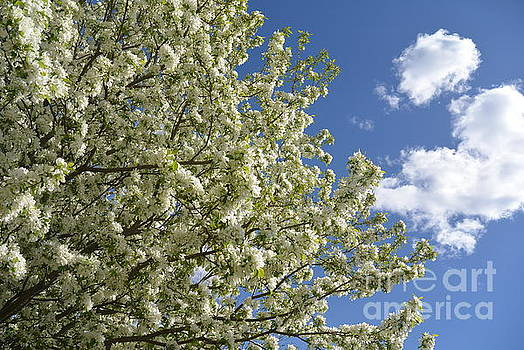 Spring Wind Tree Flora by Gerald MacLennon