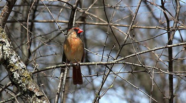 Rosanne Jordan - Springtime Cardinal Lady