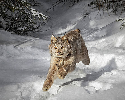 Sprinting Lynx D2523 by Wes and Dotty Weber