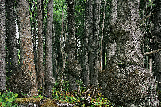 Christine Till - Spruce Burls Olympic National Park WA