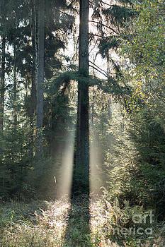 Spruce tree in morning backlight by Michal Boubin