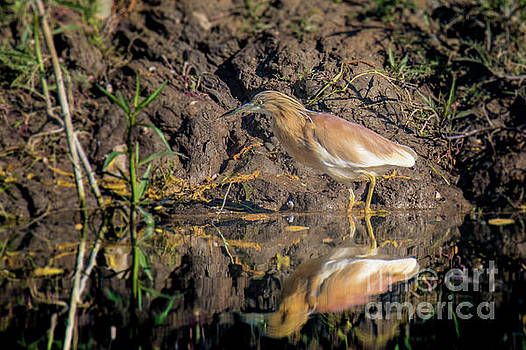 Squacco heron - Ardeola ralloides by Jivko Nakev