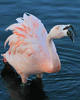 Squawking Flamingo by Shoal Hollingsworth