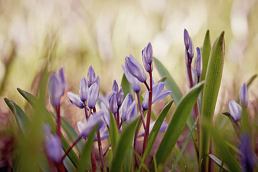 Squill by Cindy Grundsten