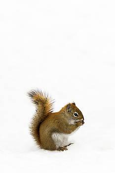 Squirrel by Nebojsa Novakovic