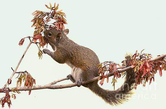 Squirrel with a treat by Myrna Bradshaw