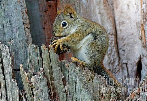 Squirrel With Nut by Debbie Parker