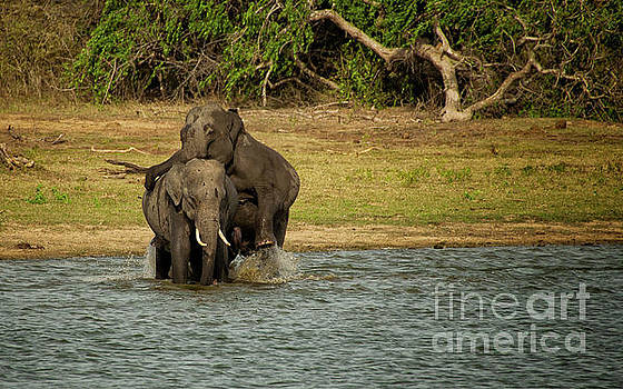 Sri Lankan Elephants  by Venura Herath