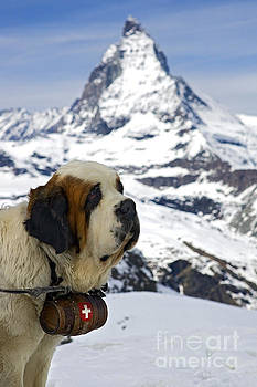 St Bernard dog posing in front of the Matterhorn by Henk Meijer Photography