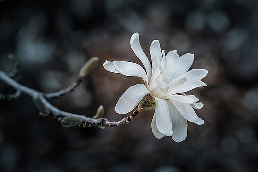 Star Magnolia by Janis Knight
