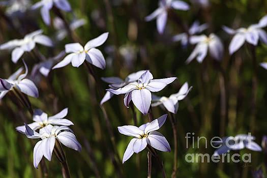 Star White Spring Flowers by Joy Watson