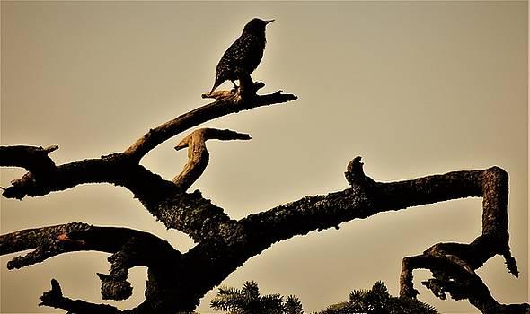 Starling by Karen Horn