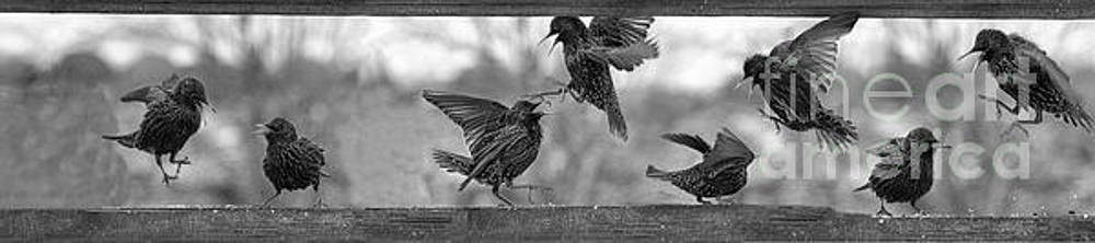 Dan Friend - Starlings fighting      Another political image