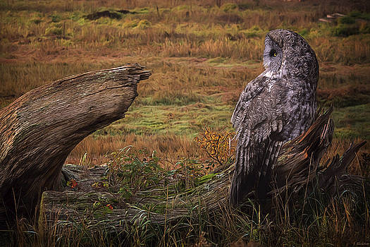 Start Of A New Day - Great Grey Owl Art by Jordan Blackstone