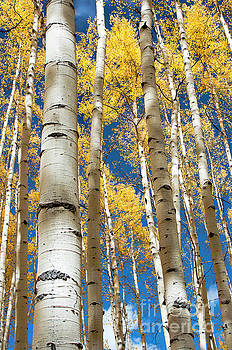 Stately Aspens by The Forests Edge Photography - Diane Sandoval