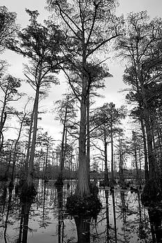 Stately - cypress trees by Jane Eleanor Nicholas