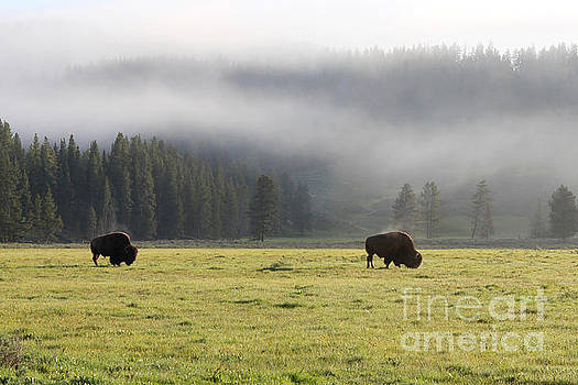 Steam on Bison in Yellowstone National Park USA at sun by Adam Long