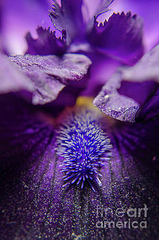 Stigma of Iris Nature Photograph by Melissa Fague