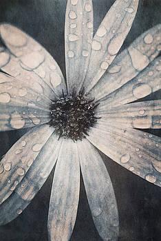 Still life of daisy with rain drops by Lars Hallstrom