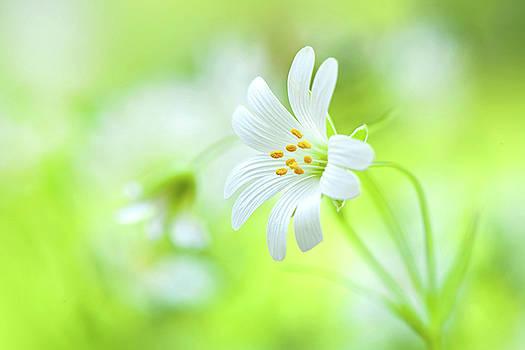 Stitchwort Flower by Jacky Parker