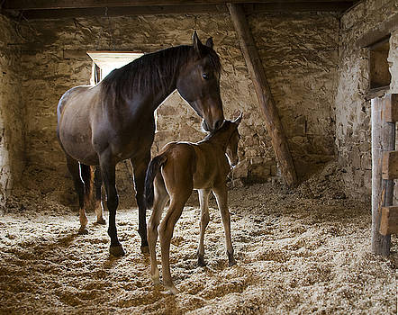 Stone Barn Colt 8 Hours Young by Buck Lovell