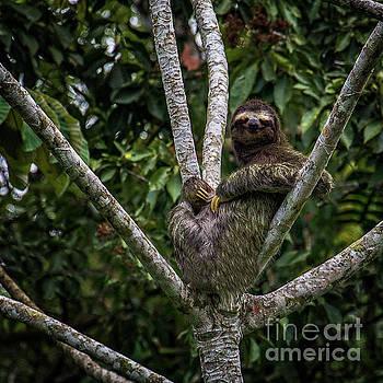 Stoned Sloth by Doug Sturgess