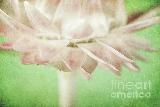 Straw Flower by Martin Williams