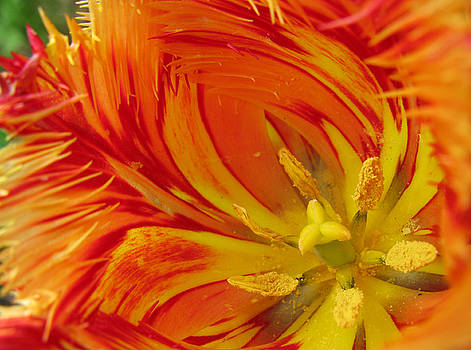 Striped Parrot Tulips. Olympic Flame by Ausra Huntington nee Paulauskaite
