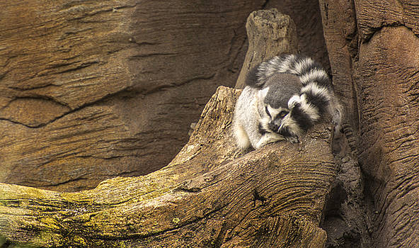 Stripped Tail Lemur at rest by Tito Santiago