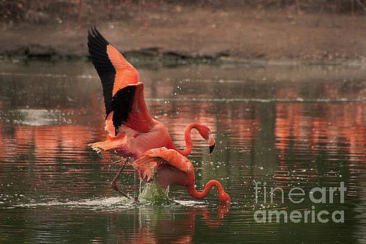 Stunning Pink Flamingo's by Doc Braham