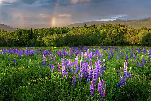 Sugar Hill Lupines by Bill Wakeley