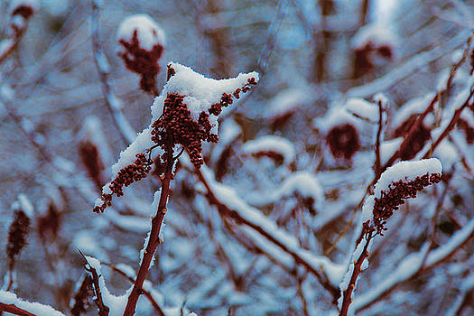Sumac Seed Pods in Snow by Gary Rieks
