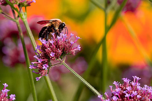 Summer Bee by E Mac MacKay