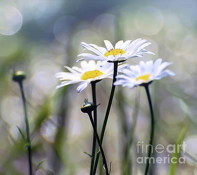 Summer Daisies by Kerri Farley