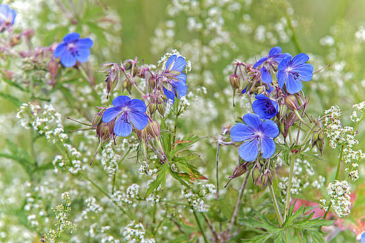 Jenny Rainbow - Summer Meadow
