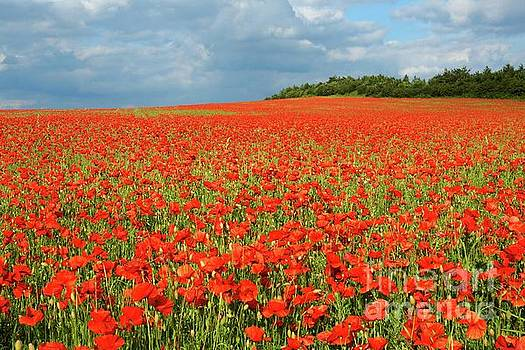 Summer Poppies in England by David Birchall