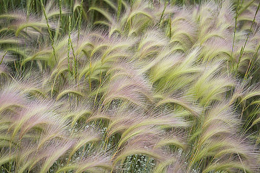 Summer Soft Foxtail Barley by The Forests Edge Photography - Diane Sandoval