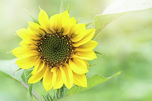 Summer Sunflower by Jacky Parker