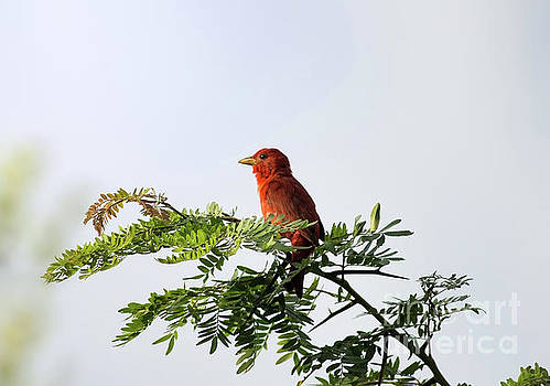 Summer Tanager In Mesquite Scrub by Robert Frederick