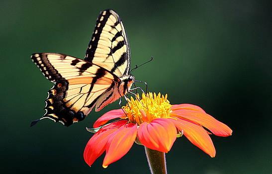 Rosanne Jordan - Summer Tiger Swallowtail