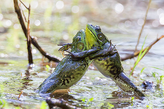 Sumo Wrestling Frogs by Mircea Costina Photography