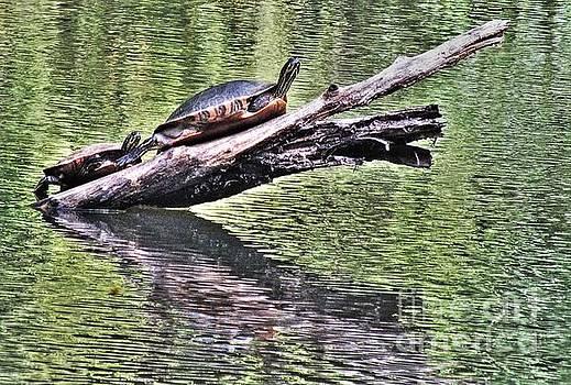Sun Basking Turtles  by Christy Ricafrente